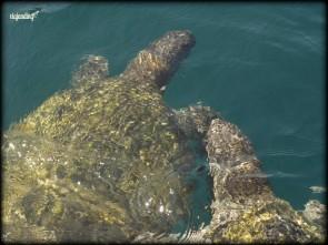 Las tortugas de la Isla de la Plata